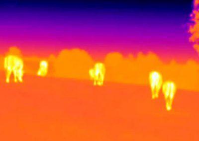 Vacas a través de cámara térmica